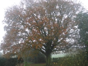 Some leaves still on the oak