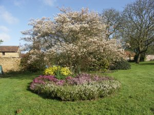 Amelanchier - at its best