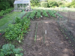 Radishes & other salads alongside the rioting raspberries