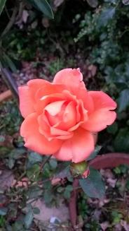 Roses still keep coming