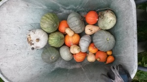 Squashes - not too large