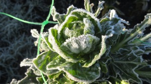 Frost on Brussels plants