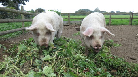Pigs consuming greenery