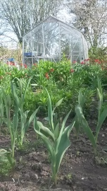Cutting flowers - tulips and wallflowers