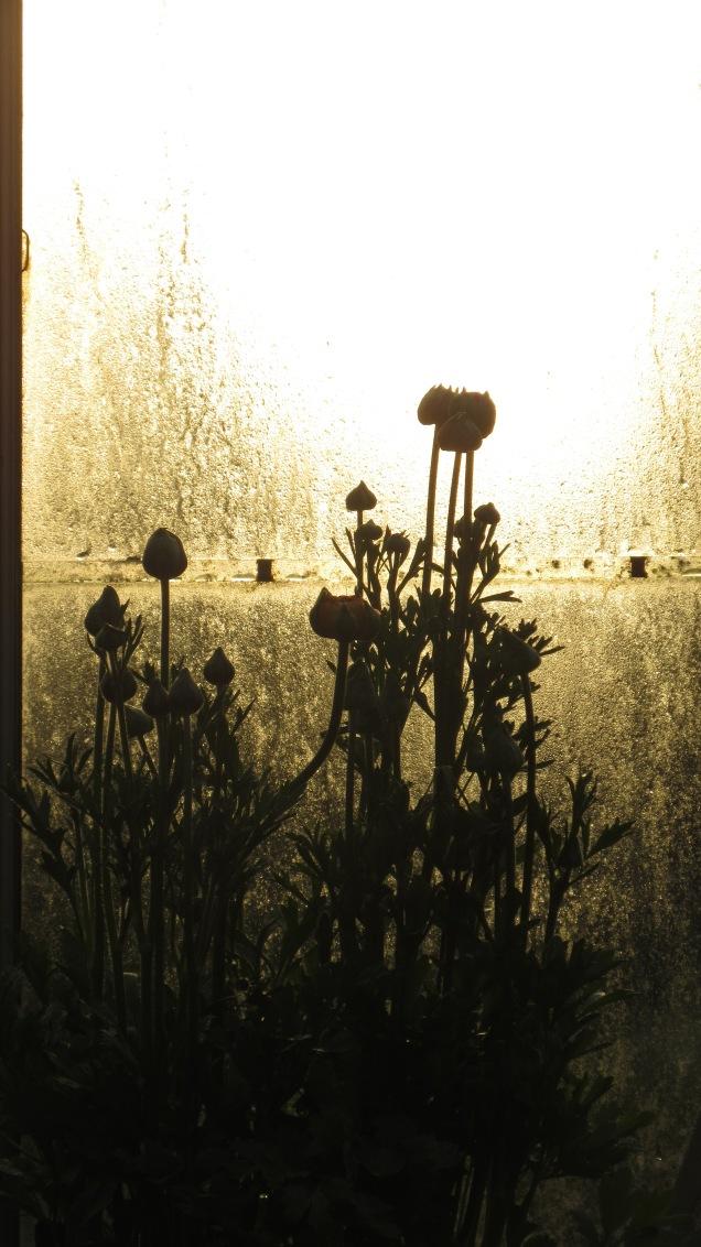 Ranunculus in the morning