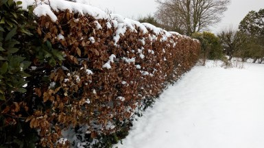 Beech Hedge dividing Middle Garden from Veg Patch