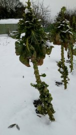Brussels Sprouts - where it all began for me