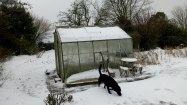 Big Greenhouse and excited labrador