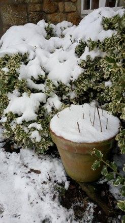 Pots. Hostas waiting for spring