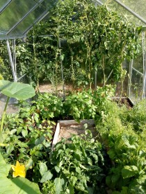 Greenhouse - peppers, lettuce and toms