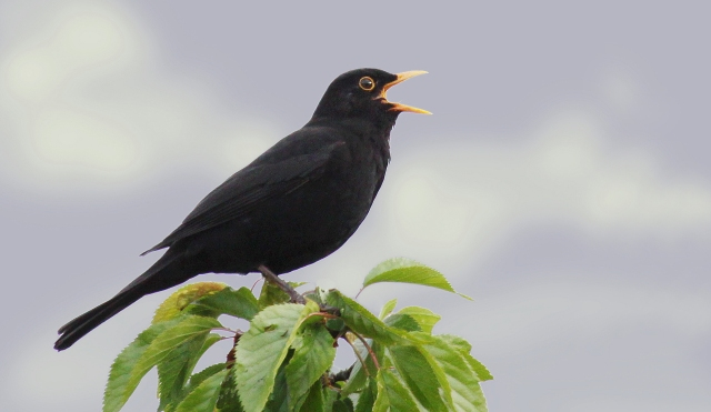 Male-Blackbird-Singing