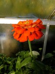 Still the random Zinnia