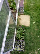 Foxgloves and Honesty in trays