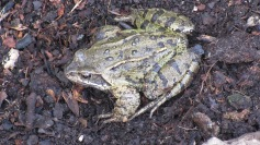 Frog - not impressed with my greenhouse maintenance