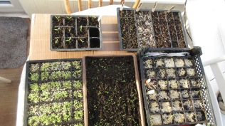 Seedlings in Cold Frame