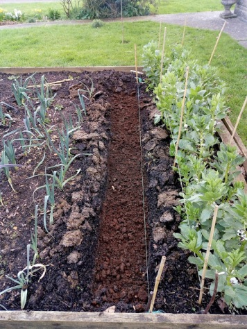 Pea Trench between late leeks and early broad beans