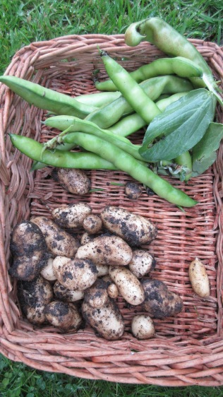 Potatoes and Broad beans (which had over-wintered)