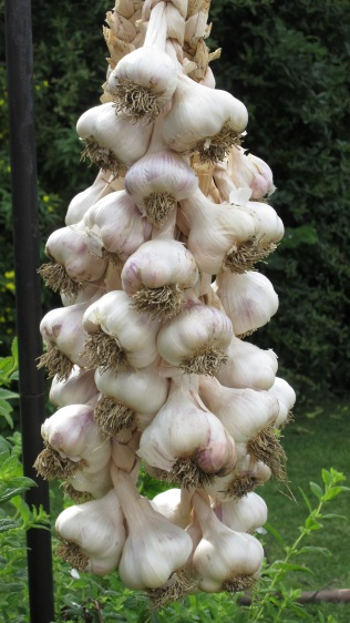 Plaited garlic