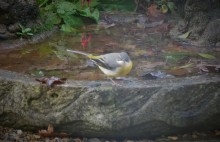 Grey Wagtail - a very special guest
