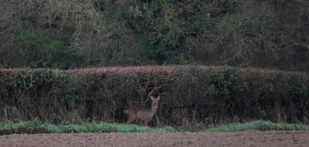 Roe deer keeping an eye on me and my hunting dog(!)